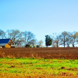 This field is still covered in cotton every summer...