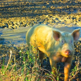 Don't be fooled, hogs are aggressive growling little big beasts. My uncle has about 100 of these. When I arrived two sows had just given birth to about 2 dozen more!